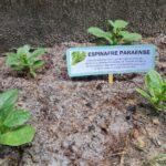 Horta 5 - Espinafre Paraense