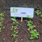 Horta 6 - Jambu