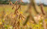 Conheça o produtor goiano que planta soja sem agrotóxicos, gasta 50% menos e lucra mais